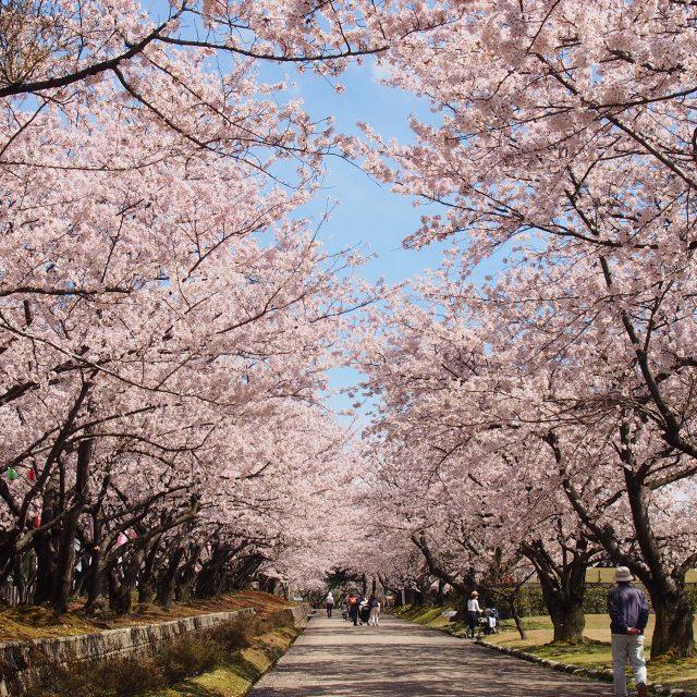 宮野山 桜