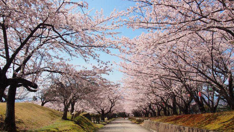 宮野山の桜並木01