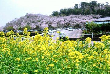 桜と野の花 宮野山にて