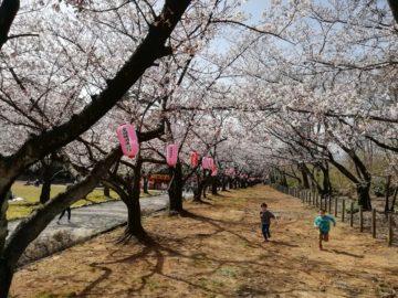 宮野山桜開花状況3
