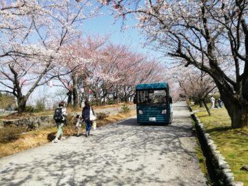宮野山桜開花状況2