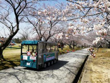 宮野山桜開花状況4