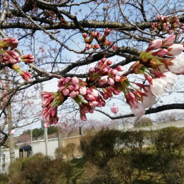 宮野山桜まつりライトアップ