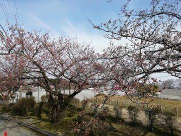 宮野山桜まつりライトアップ2