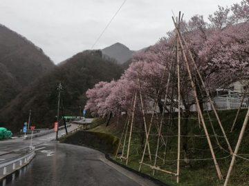 宇奈月温泉街4月桜
